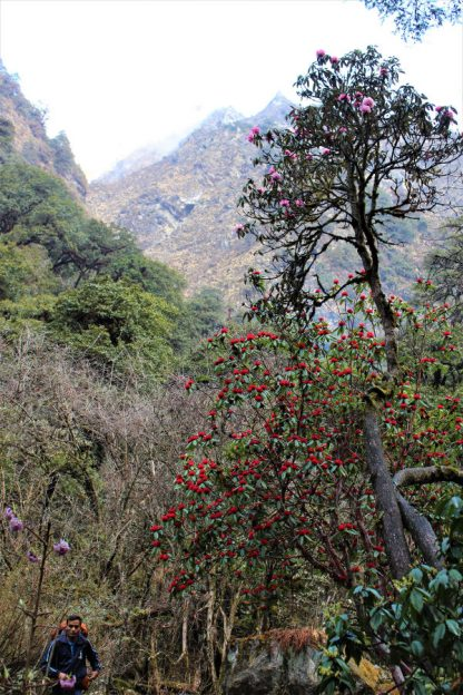 Rhododendrons on the Langtang trek