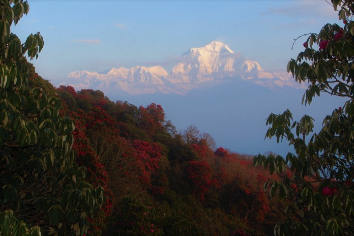 Rhododendron forest and Dhaulagiri range above Poon Hill