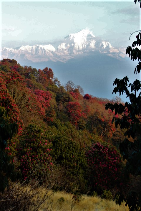 rhododendron forest and Dhaulagiri
