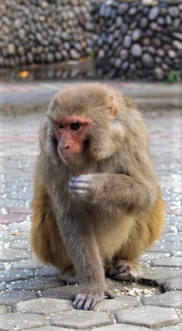 Monkey at swayambhunath