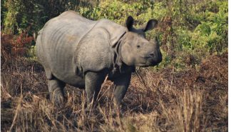 rhinoceros in Chitwan National Park