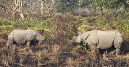 Rhinoceroses in Chitwan National Park